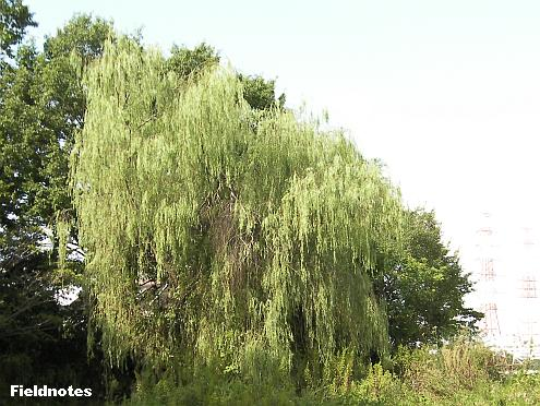 シダレヤナギの巨木