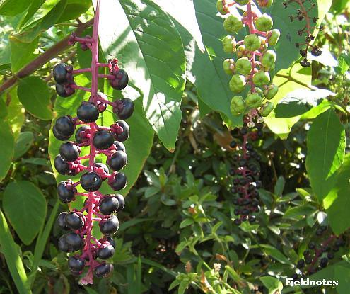 花壇の横のヨウシュヤマゴボウ