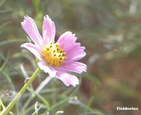 様々な蝶がやってくる花壇のコスモス