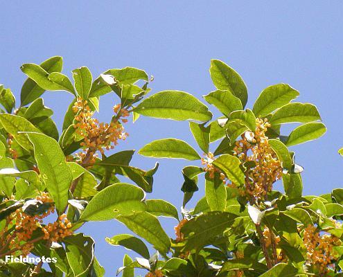 キンモクセイが咲いています