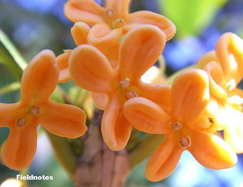 ちいさなキンモクセイの花