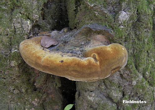 生きているカシの木の幹に生えたサルノコシカケ科?のキノコ