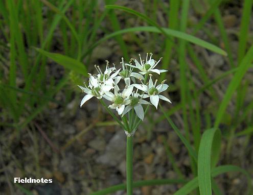 花茎はまっすぐ伸びた花