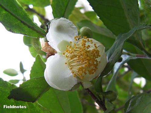 10月に咲いたお茶の花