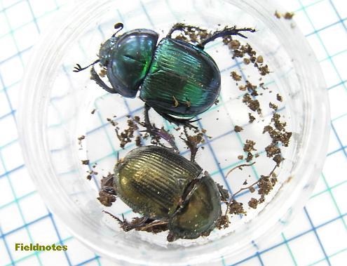 7センチほどの糞の中と周辺から見つかった糞虫(桝目は5mm角)〈オオセンチコガネ(青)とセンチコガネ(金)〉