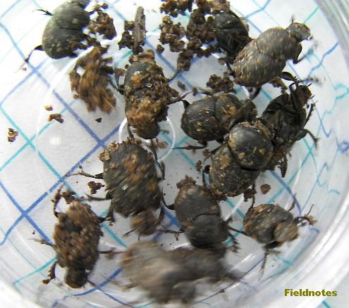 7センチほどの糞の中と周辺から見つかった糞虫(桝目は5mm角)〈激しく動き回る小さ目のエンマコガネ〉