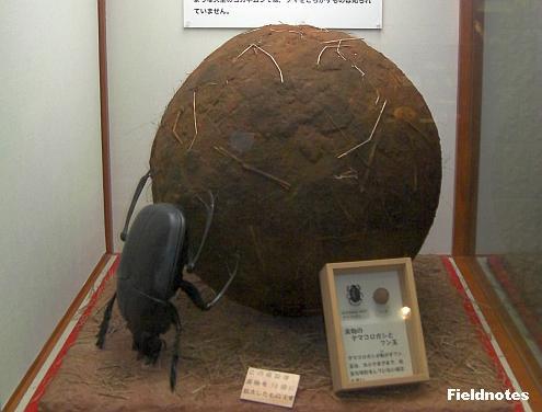 フンコロガシの巨大レプリカ(左)と標本(右)[大阪市立自然史博物館]