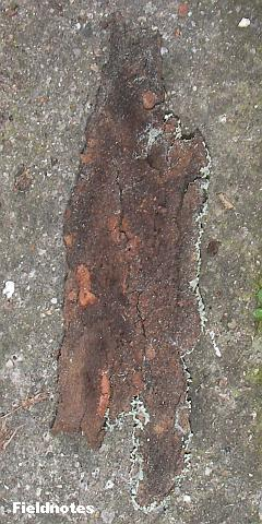 地衣類のかけらも見えないその樹皮の裏
