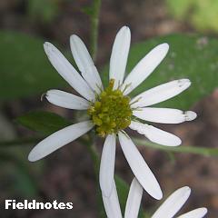 シロヨメナの花