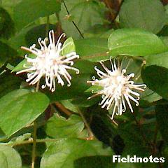花びらの先が曲がったコウヤボウキの花