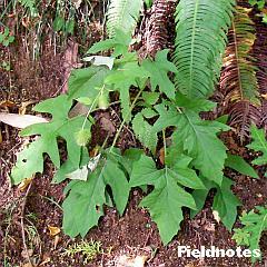 キクバヤマボクチらしき花の葉