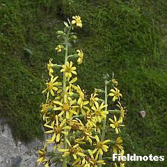 フキの仲間らしい花