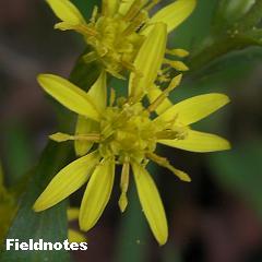 アオヤギバナに似たアキノキリンソウの花