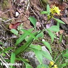 アオヤギバナよりも幅広のアキノキリンソウの葉