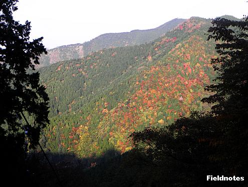 下っていくケーブルカーから見た紅葉谷の紅葉