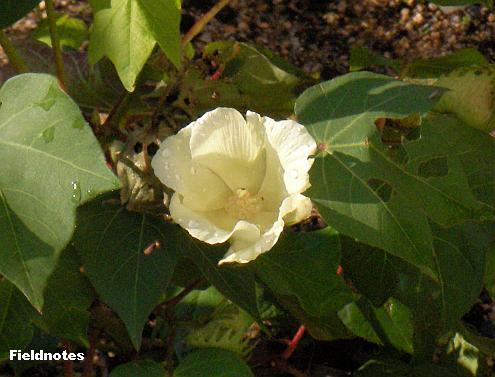 立冬を過ぎても咲いているワタの花