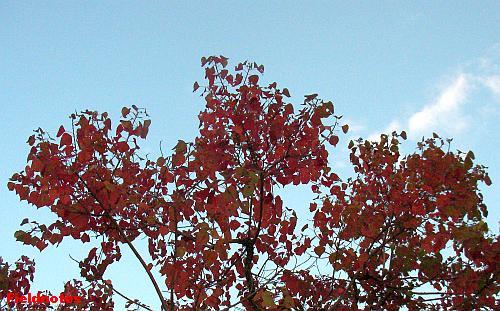 きれいに紅葉しているナンキンハゼ