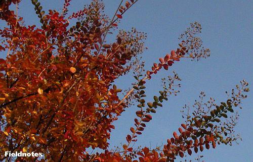 花よりも赤いサルスベリの紅葉