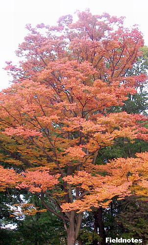 紅葉というよりも褐葉のケヤキ