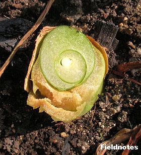 大きく育ったタルサトイモの芋茎の根元