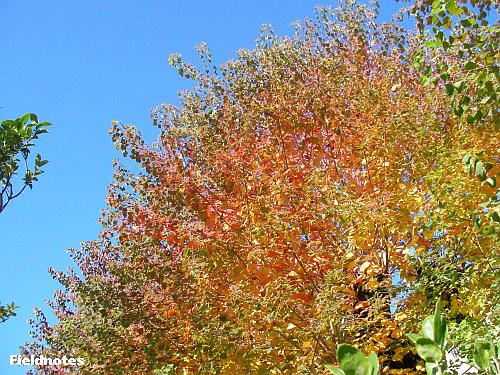 1本の木でグラデーションがきれいなナンキンハゼの紅葉