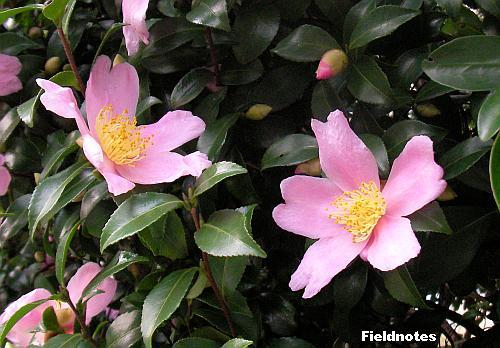 咲きはじめたサザンカの花