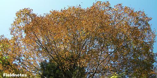 きれいに褐葉している不動坂入り口付近の大ケヤキ