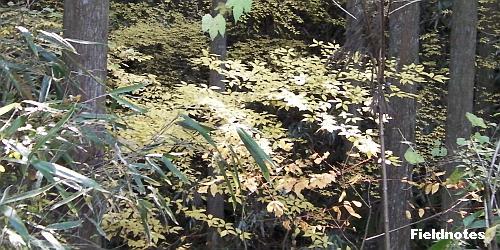 杉林の中で黄葉しているクロモジ?