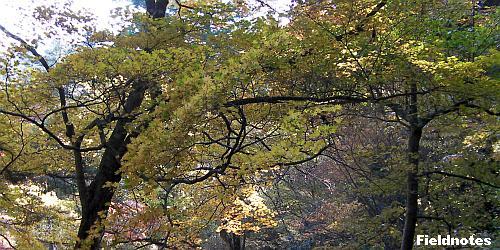 枝を広げて黄葉しているカエデ