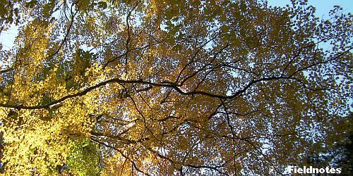 大きく枝を広げたイロハモミジ