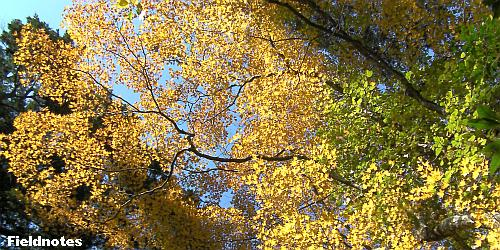 枝を広げて道を覆うオオモミジ