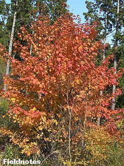 きれいに紅葉しているウリハカエデ