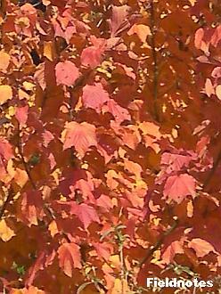 ウリハカエデの葉
