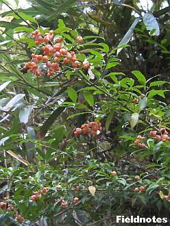 マユミの木