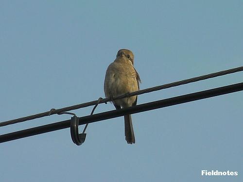 胸の辺りに鱗模様が見える百舌鳥太郎の奥さん2010♀