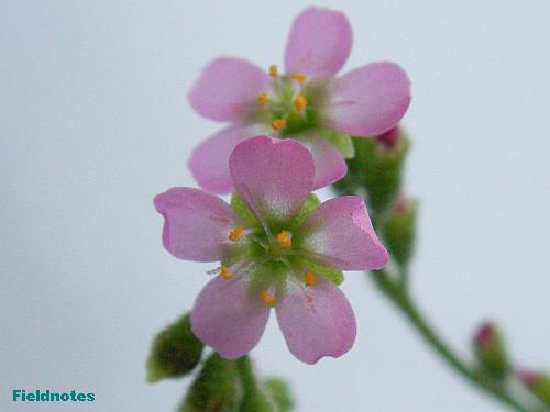 トウカイコモウセンゴケの花