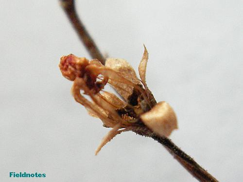 トウカイコモウセンゴケの花が咲いた後の枯れた萼と萼筒