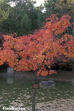 カワセミがいるという池のヤマモミジ