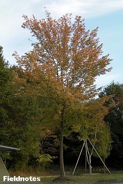 広場のトウカエデの木