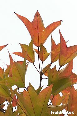 鳥の足のようなトウカエデの葉