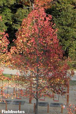 紅葉と黄葉がきれいなモミジバフウ