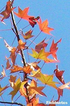 モミジのようなモミジバフウの葉