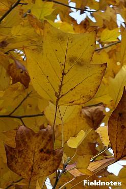 怪人のお面のようなおもしろい形のユリノキの葉