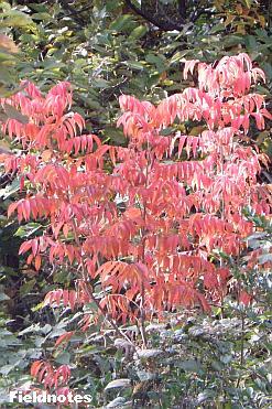 常緑樹の中で真っ赤に染まっているハゼノキ