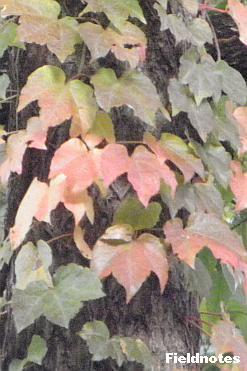 なんとなくブドウっぽいツタの葉