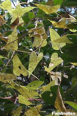 伸ばしたハート型のヤマノイモの葉