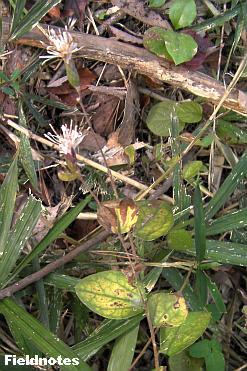 鋸歯が目立たない丸い葉が特徴のコウヤボウキ