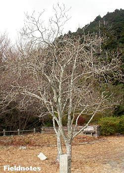 元摩耶山天上寺(現摩耶山歴史公園)のコブシ