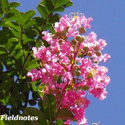 サルスベリの花(8月)