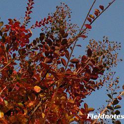 サルスベリの紅葉(11月)